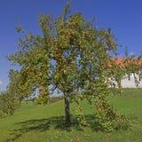 Δέντρο της Apple με τα ώριμα φρούτα στον αγροτικό οπωρώνα Στοκ Φωτογραφίες