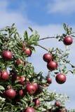 Δέντρο της Apple με τα ώριμα φρούτα Στοκ Φωτογραφία