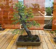 Δέντρο της Apple - μπονσάι στο ύφος Στοκ φωτογραφία με δικαίωμα ελεύθερης χρήσης