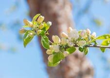 Δέντρο της Apple λουλουδιών Spsring ενάντια στον ουρανό Στοκ Εικόνες