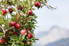 Δέντρο της Apple πέρα από το τοπίο βουνών Στοκ φωτογραφίες με δικαίωμα ελεύθερης χρήσης