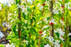 Δέντρο της Apple της ποικιλίας Στοκ Εικόνα