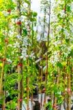 Δέντρο της Apple της ποικιλίας Στοκ Εικόνες