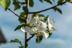 Δέντρο της Apple, που ανθίζει σε έναν κήπο, άνοιξη Στοκ Εικόνες