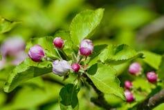 Δέντρο της Apple που ανθίζει στην άνοιξη Στοκ φωτογραφία με δικαίωμα ελεύθερης χρήσης