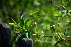 Δέντρο της Apple που ανθίζει στον κήπο Στοκ φωτογραφία με δικαίωμα ελεύθερης χρήσης