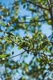 Δέντρο της Apple που ανθίζει στον κήπο Στοκ φωτογραφίες με δικαίωμα ελεύθερης χρήσης