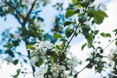 Δέντρο της Apple που ανθίζει στον κήπο Στοκ εικόνα με δικαίωμα ελεύθερης χρήσης