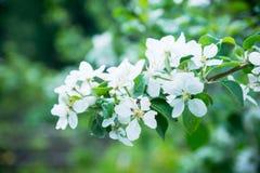Δέντρο της Apple που ανθίζει στον κήπο Στοκ Φωτογραφίες