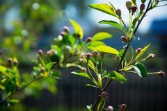 Δέντρο της Apple που ανθίζει στον κήπο Στοκ Εικόνες