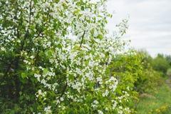 Δέντρο της Apple που ανθίζει στον κήπο Στοκ Εικόνα