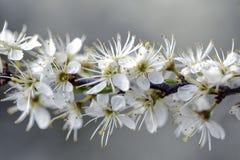 Δέντρο της Apple που ανθίζει την άνοιξη Στοκ Φωτογραφία