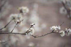 Δέντρο της Apple που ανθίζει την άνοιξη Στοκ εικόνες με δικαίωμα ελεύθερης χρήσης