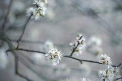 Δέντρο της Apple που ανθίζει την άνοιξη Στοκ Φωτογραφίες