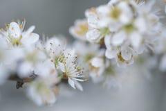 Δέντρο της Apple που ανθίζει την άνοιξη Στοκ φωτογραφία με δικαίωμα ελεύθερης χρήσης
