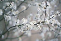 Δέντρο της Apple που ανθίζει την άνοιξη Στοκ Εικόνες