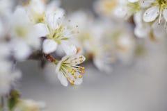 Δέντρο της Apple που ανθίζει την άνοιξη Στοκ εικόνα με δικαίωμα ελεύθερης χρήσης