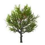 Δέντρο της Apple που απομονώνεται. Διανυσματική απεικόνιση Στοκ Φωτογραφία