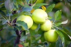 Δέντρο της Apple, πράσινα μήλα στους κλάδους Στοκ φωτογραφία με δικαίωμα ελεύθερης χρήσης