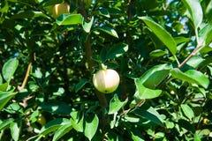 Δέντρο της Apple σε έναν οπωρώνα Στοκ Εικόνα