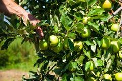 Δέντρο της Apple σε έναν οπωρώνα Στοκ Εικόνες