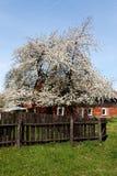Δέντρο της Apple στα άνθη Στοκ Φωτογραφία