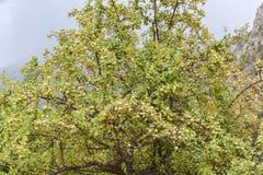 Δέντρο της Apple στα βουνά Στοκ Φωτογραφίες