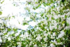Δέντρο της Apple στα λουλούδια Στοκ εικόνα με δικαίωμα ελεύθερης χρήσης