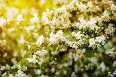 Δέντρο της Apple στα λουλούδια Στοκ Φωτογραφίες