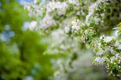 Δέντρο της Apple στα λουλούδια Στοκ φωτογραφία με δικαίωμα ελεύθερης χρήσης