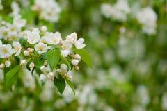 Δέντρο της Apple στα λουλούδια Στοκ εικόνες με δικαίωμα ελεύθερης χρήσης