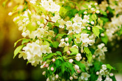 Δέντρο της Apple στα λουλούδια Στοκ Φωτογραφία
