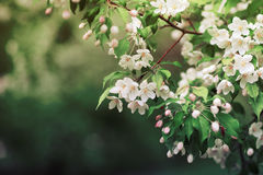 Δέντρο της Apple στα λουλούδια Στοκ φωτογραφίες με δικαίωμα ελεύθερης χρήσης