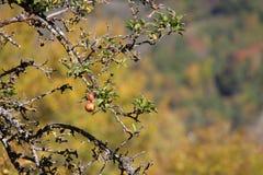 Δέντρο της Apple στα Πυρηναία Στοκ εικόνα με δικαίωμα ελεύθερης χρήσης