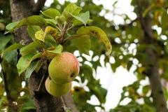 Δέντρο της Apple στα υγιή φρούτα φθινοπώρου Στοκ φωτογραφία με δικαίωμα ελεύθερης χρήσης
