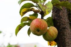 Δέντρο της Apple στα υγιή φρούτα φθινοπώρου Στοκ Φωτογραφίες