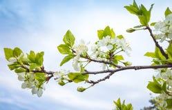 Δέντρο της Apple στην άνθιση, άσπρα λουλούδια Στοκ φωτογραφία με δικαίωμα ελεύθερης χρήσης