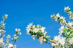 Δέντρο της Apple στην άνθιση ενάντια στο σαφή μπλε ουρανό Στοκ εικόνα με δικαίωμα ελεύθερης χρήσης