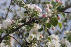 Δέντρο της Apple στην άνθιση, κλάδος Στοκ εικόνες με δικαίωμα ελεύθερης χρήσης