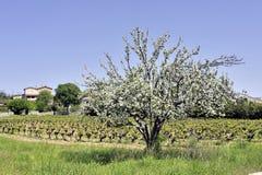 Δέντρο της Apple στην άνθιση που αναγγέλλει την άνοιξη Στοκ Φωτογραφία