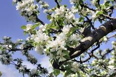 Δέντρο της Apple στην άνθιση που αναγγέλλει την άνοιξη Στοκ Εικόνες