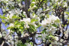 Δέντρο της Apple στην άνθιση που αναγγέλλει την άνοιξη Στοκ Φωτογραφίες