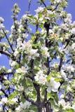 Δέντρο της Apple στην άνθιση που αναγγέλλει την άνοιξη Στοκ φωτογραφίες με δικαίωμα ελεύθερης χρήσης