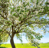 Δέντρο της Apple στην άνθιση στον κήπο Στοκ εικόνα με δικαίωμα ελεύθερης χρήσης