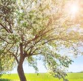 Δέντρο της Apple στην άνθιση στον κήπο Στοκ Εικόνες