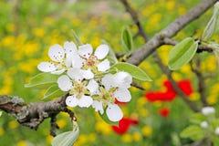 Δέντρο της Apple στην άνθιση την άνοιξη Στοκ εικόνα με δικαίωμα ελεύθερης χρήσης
