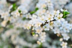 Δέντρο της Apple στην άνθιση Στοκ φωτογραφίες με δικαίωμα ελεύθερης χρήσης