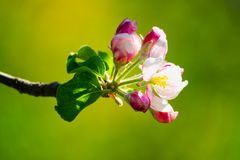 Δέντρο της Apple στην άνθιση Στοκ φωτογραφία με δικαίωμα ελεύθερης χρήσης