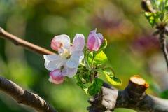 Δέντρο της Apple στην άνθιση Στοκ Εικόνα