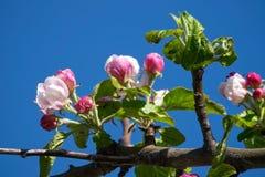Δέντρο της Apple στην άνθιση Στοκ Φωτογραφίες